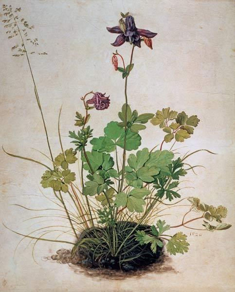 Il·lustració botànica d'Albert Durero