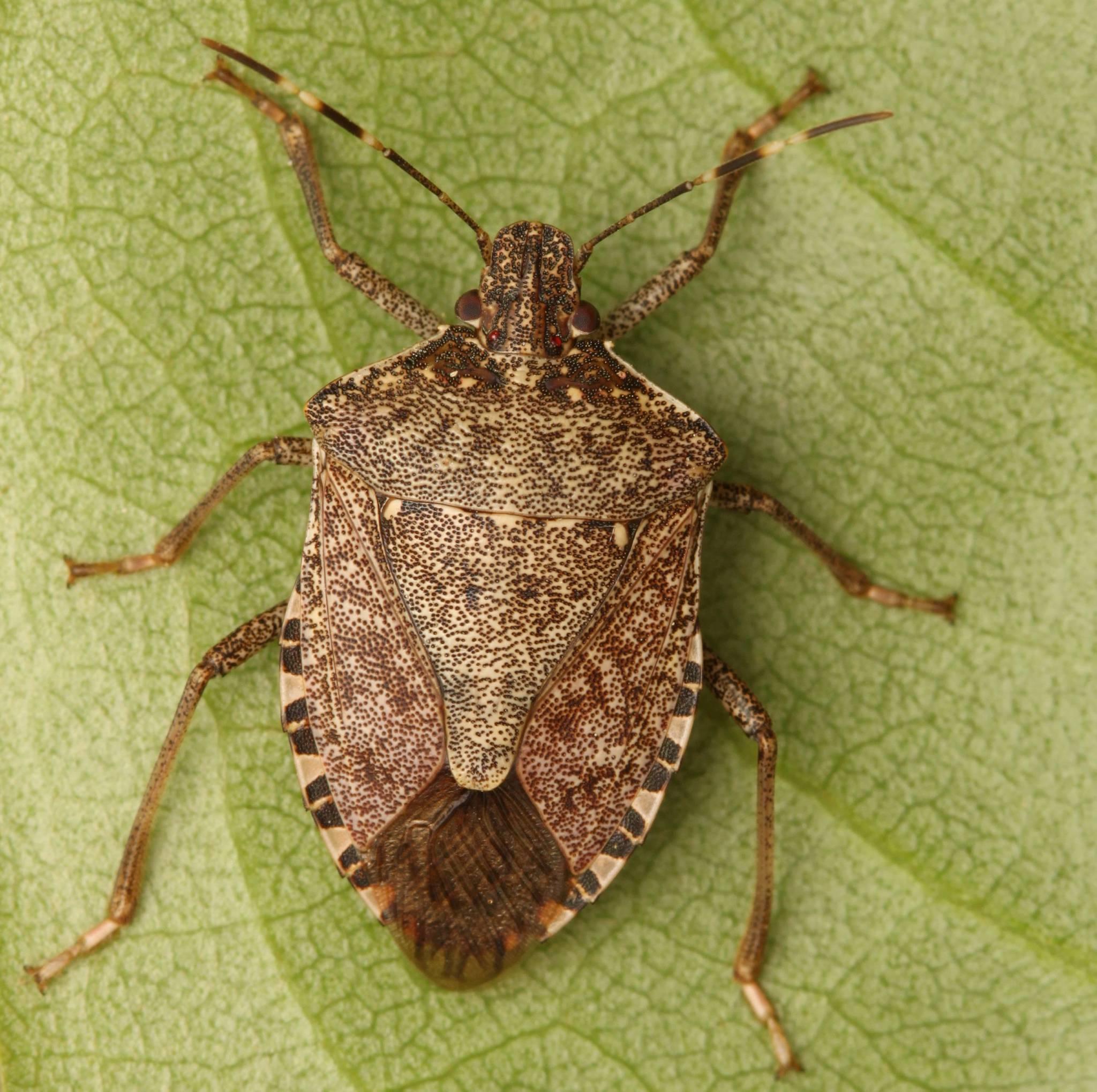 Imatge de l'insecte bernat marró marbrejat